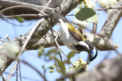 Blue-faced Honeyeater, Gagudju