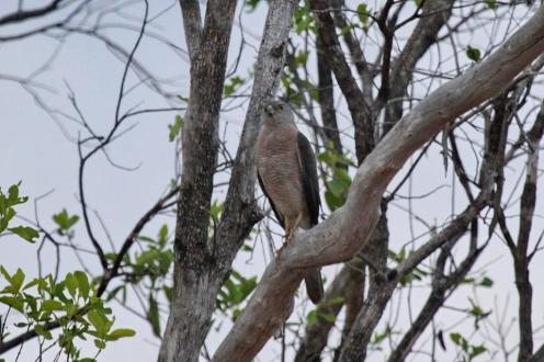 Collared Sparrowhawk, Ferguson River