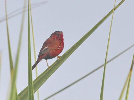 Crimson Finch, Fogg Dam