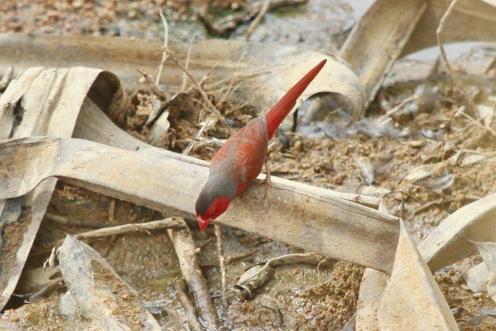 Crimson Finch - male, Ferguson River