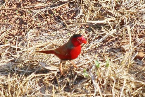 Crimson Finch, Victoria River