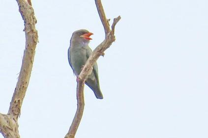 Dollarbird, Mary River Camp