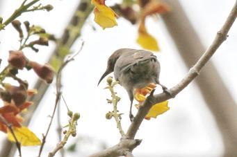 Dusky Flycatcher, Charles Darwin