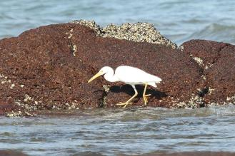Eastern Reef Egret - white morph, East Point