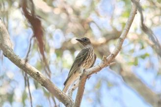 Figbird - female, Lee Point