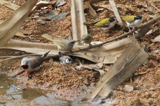 Finches &; Honeyeaters, Ferguson River