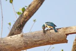 Sacred Kingfisher, Ferguson River