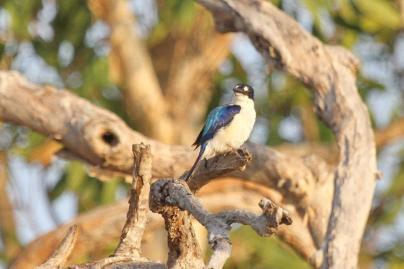 Forest Kingfisher, Gagudju - Yellow Water