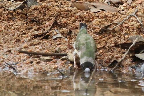 Goudian Finch, Ferguson River