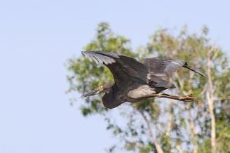 Great-billed Heron, Gagudju - Yellow Water