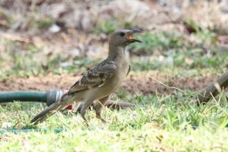 Great Bowerbird, Edith Falls