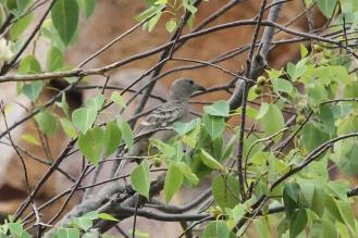 Great Bowerbird, Katherine