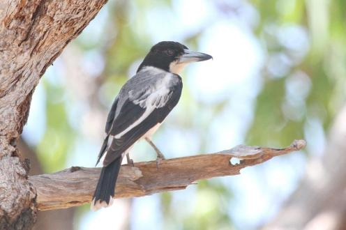 Grey Butcherbird, en route to Pine Creek