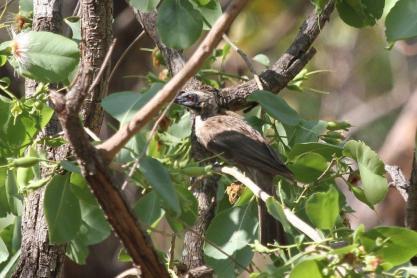 Helmeted Friarbird, Charles Darwin
