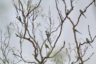 Hooded Parrots, Ferguson River