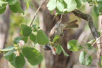 Little Friarbird, Charles Darwin