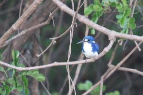 Little Kingfisher, Gagudju - Yellow Water