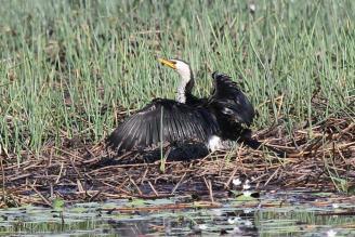 Little Pied Cormorant, McMinns Lagoon