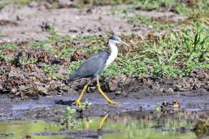 Pied Heron, Gagudju - Yellow Water