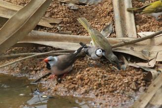 Long-tailed & Double-barred Finch with Brown Honeyeater, Ferguson River