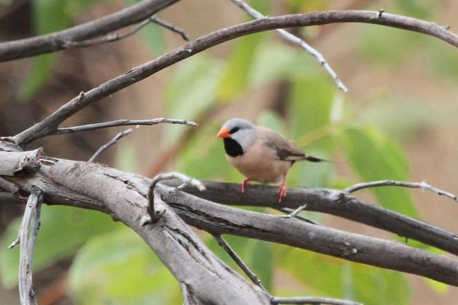 Long-tailed Finch, Ferguson River