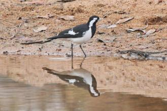 Magpie-lark - female, Ferguson River