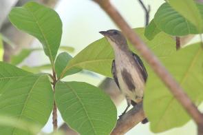 Mistletoebird, Gagudju