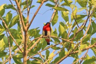 Mistletoebird, East Point