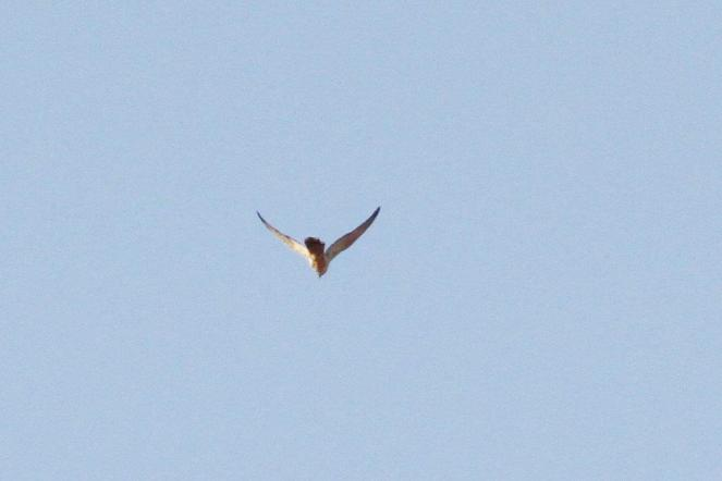 Brown Falcon -Mystery noisily raucous Raptor, Ferguson River