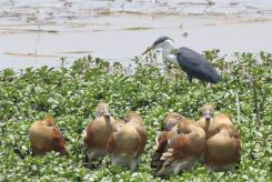 Pied Heron, Mamukala Wetlands & Plumed Whistling-Ducks