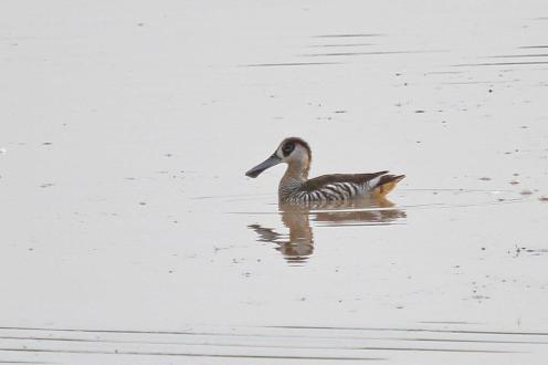 Pink-eared Duck, Bird Billabong - Mary River