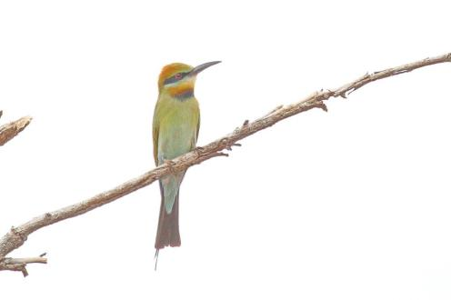 Rainbow Bee-eater, Victoria River
