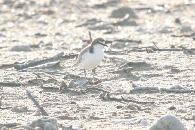 Red-capped Plover, Lee Point