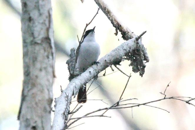 Paperbark Flycatcher, Howard Springs