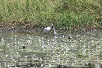 Royal Spoonbill, McMinns Lagoon