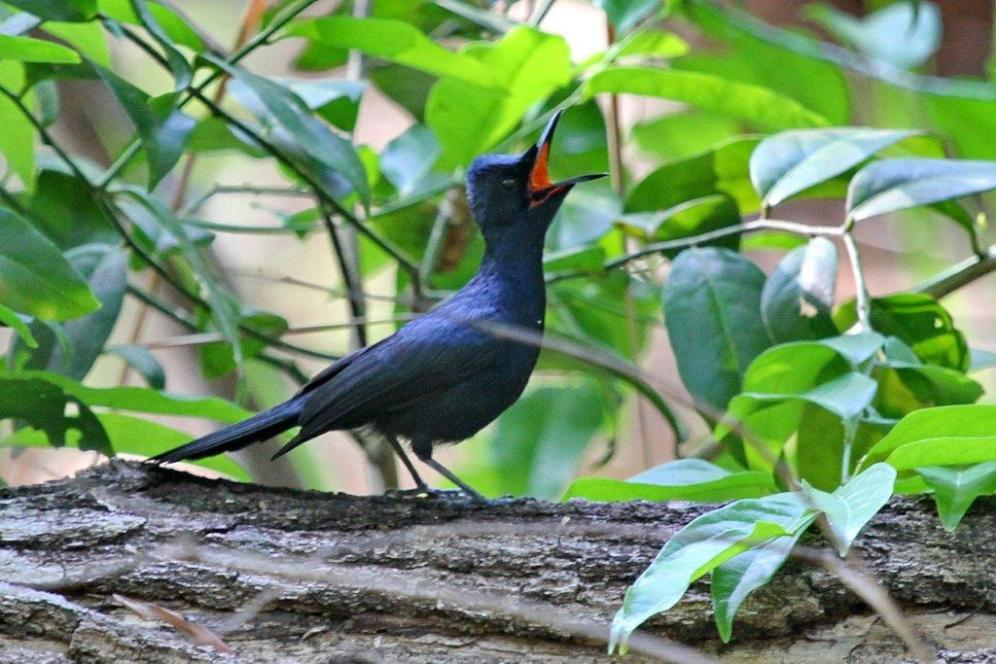 Shining Flycatcher - male, Fogg Dam