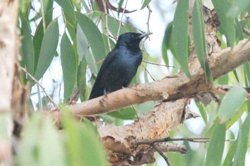 Shining Flycatcher - male, Gagudju - Yellow Water