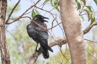 Torresian Crow, Mamukala Wetlands