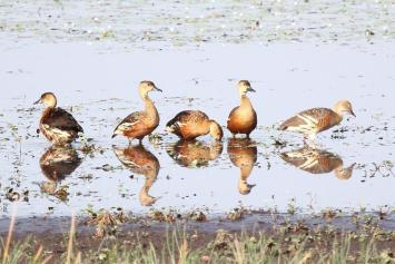 Wandering Whistling-Ducks, McMinns Lagoon