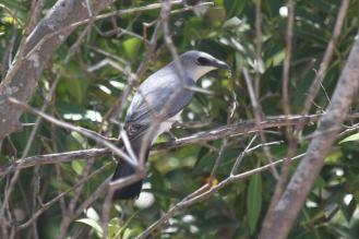 White-bellied Cuckoo-shrike, East Point