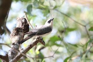 White-bellied Cuckoo-shrike, McMinns Lagoon