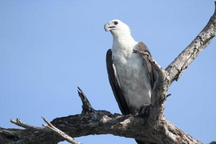 White-bellied Sea-Eagle, Gagudju - Yellow Water