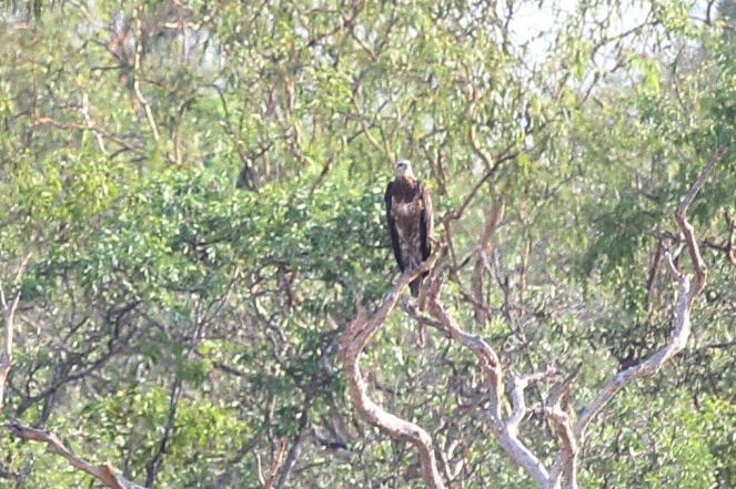 White-bellied Sea Eagle, Bird Billabong - Mary River