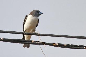 White-bellied Woodswallow, Buffalo Creek