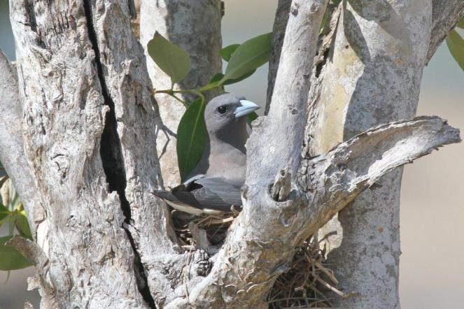 White-breasted Woodswallow on nest, Buffalo Creek