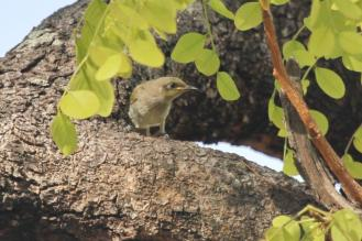 Brown Honeyeater, Charles Darwin