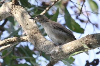 White-gaped Honeyeater, McMinns Lagoon