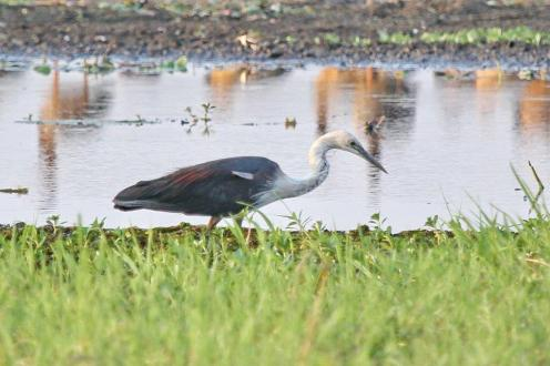 White-necked Heron, Gagudju - Yellow Water