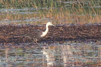 White-necked Heron, McMinns Lagoon