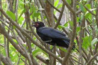Torresian Crow, Mary River Camp
